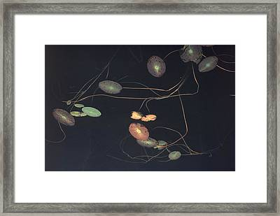 Water Lily Pads Trail Along The Surface Framed Print by Farrell Grehan