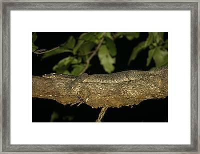Water Monitor Lizard Sleeping On Branch Framed Print by Tim Laman