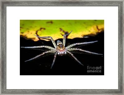 Water Spider Framed Print by Johan Larson