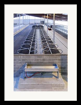Cattle Cubicle Framed Prints