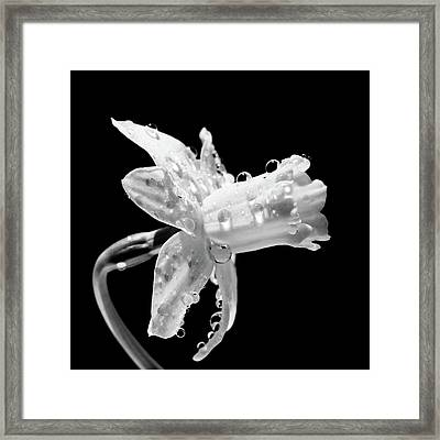 Waterdrops On Daffodil Framed Print by Light Thru My Lens Photography