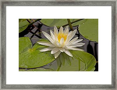 Framed Print featuring the photograph Waterlily  by Anne Rodkin