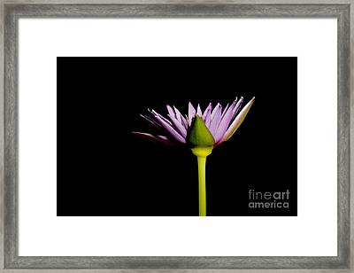 Waterlily Opening Part Of A Series Framed Print by Ted Kinsman