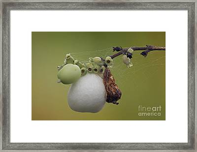 Framed Print featuring the photograph Webbed Berry by Eunice Gibb