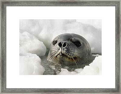 Weddell Seal Poking Head Through Breathing Hole In Ice, Close-up Framed Print by Doug Allan
