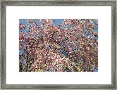 Weeping Cherry Tree In Bloom Framed Print by Todd Gipstein