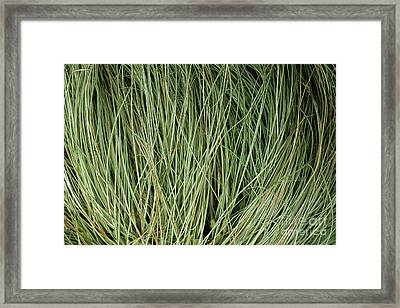 Weeping Sedge (carex Oshimensis) Framed Print by Archie Young