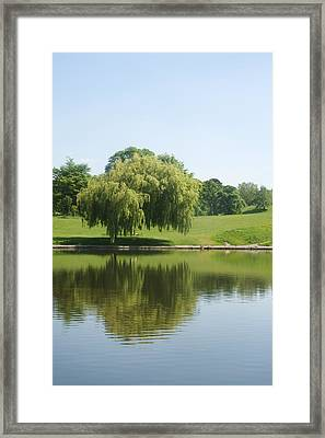 Weeping Willow Tree.  Framed Print