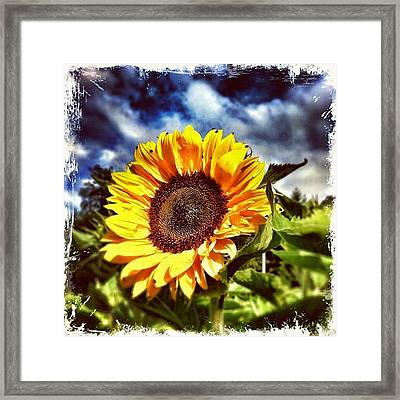 Welcome To The Sunflower Season! Framed Print