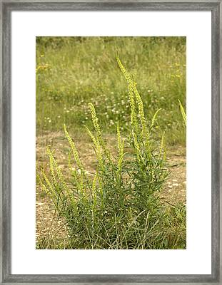 Weld (reseda Luteola) Framed Print by Bob Gibbons