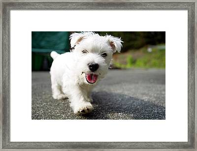 West Highland Terrier Female. Framed Print by Chris Cole