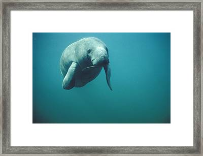 West Indian Manatee Trichechus Manatus Framed Print by Tui De Roy
