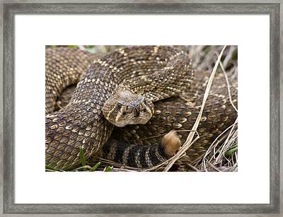 Western Diamondback Rattlesnake - 4665 Framed Print