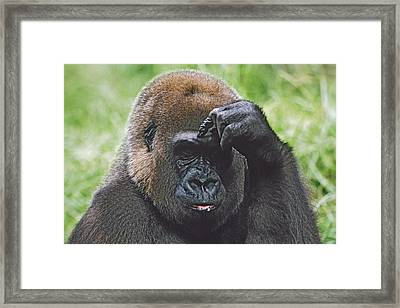 Western Gorilla Portrait With Finger On Framed Print by David Ponton