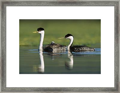 Western Grebe Couple With One Parent Framed Print by Tim Fitzharris
