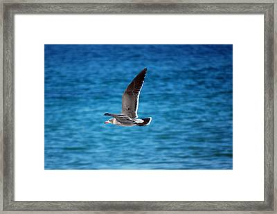 Western Gull In Flight Framed Print by Harvey Barrison