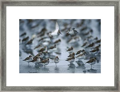 Western Sandpiper Calidris Mauri Flock Framed Print by Michael Quinton