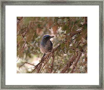 Western Scrub Jay Framed Print by Chris Hill