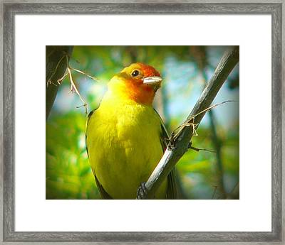 Western Tanager Framed Print by Carol Norman