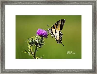 Western Tiger Swallowtail - Milkweed Thistle 2564 Framed Print