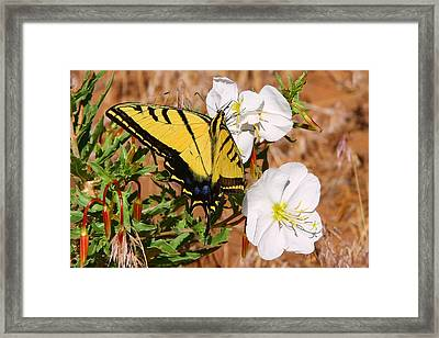 Western Tiger Swallowtail Framed Print
