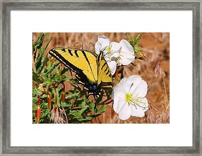 Western Tiger Swallowtail Framed Print