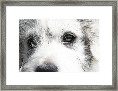 Westie Framed Print by Tilly Williams