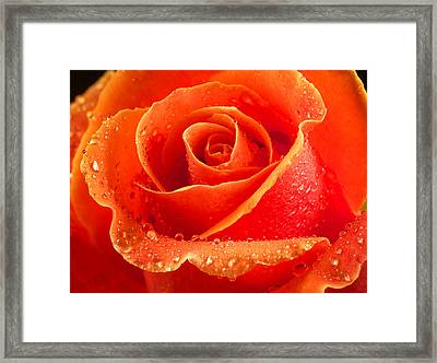 Wet Rose Framed Print by Jean Noren