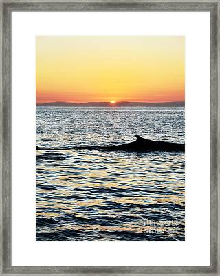 Whale At Sunset Framed Print by Timothy OLeary