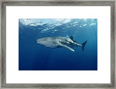 Whale Shark Cocos Island Framed Print