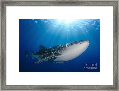 Whale Shark Feeding Under Fishing Framed Print by Steve Jones