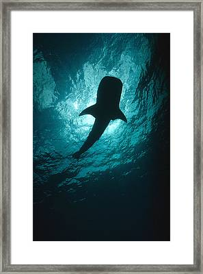 Whale Shark Silhouette Cocos Island Framed Print