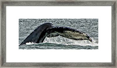 Whale Tail Framed Print by Jon Berghoff
