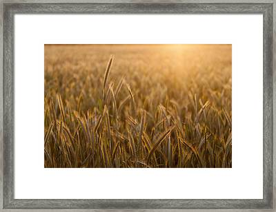 Wheat Field During Sunrise Framed Print by Bjorn Holland