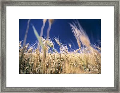 Wheat Field Framed Print by Juan  Silva