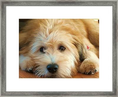 Wheaten Terrier 1 Framed Print by Vijay Sharon Govender