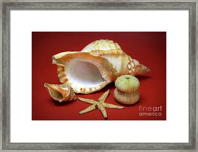 Whelks Framed Print by Carlos Caetano
