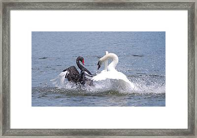 When Swans Attack Framed Print by Carrie Munoz