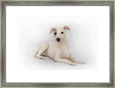 Whippet Puppy Framed Print by John Clum
