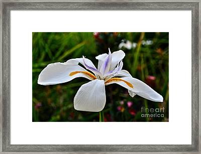 White African Iris Framed Print by Gwyn Newcombe