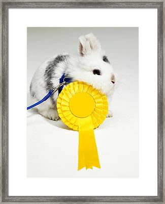 White And Black Rabbit On Blue Leash With Yellow Rosette Framed Print by Michael Blann