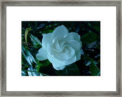 Framed Print featuring the photograph White And Fragrant by Frank Wickham