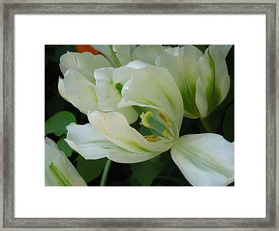 White And Green Tulip Framed Print