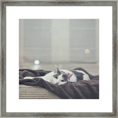 White And Grey Cat Lying On Brown Blanket Framed Print by Cindy Prins