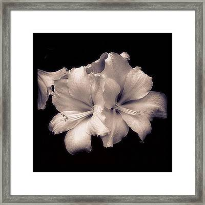 White Asiatic Lily Framed Print