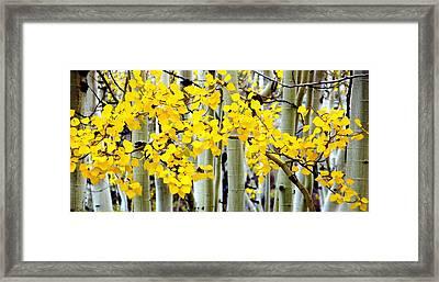 White Aspen Golden Leaves Framed Print by Jeff Lowe
