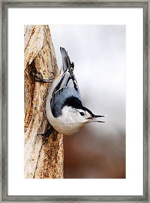 White-breasted Nuthatch 3 Framed Print