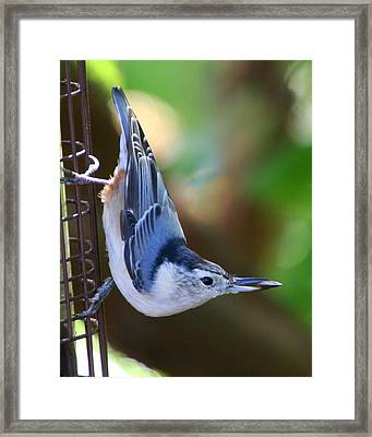 Framed Print featuring the photograph White-breasted Nuthatch by Laurel Talabere