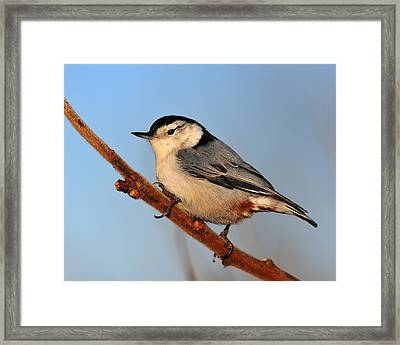White-breasted Nuthatch Framed Print by Tony Beck