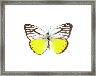 White Butterfly Of Indonesia Framed Print by MajchrzakMorel
